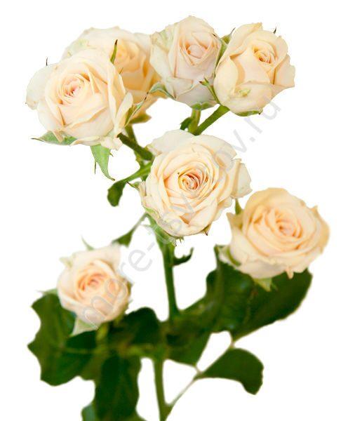 Кремовые кустовые розы купить дешёво доставка цветов ру нижний новгород