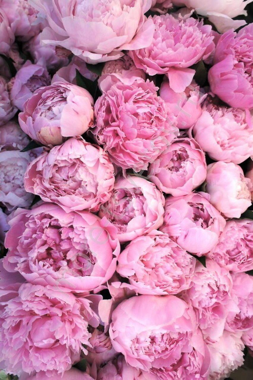 картинки розовые пионы