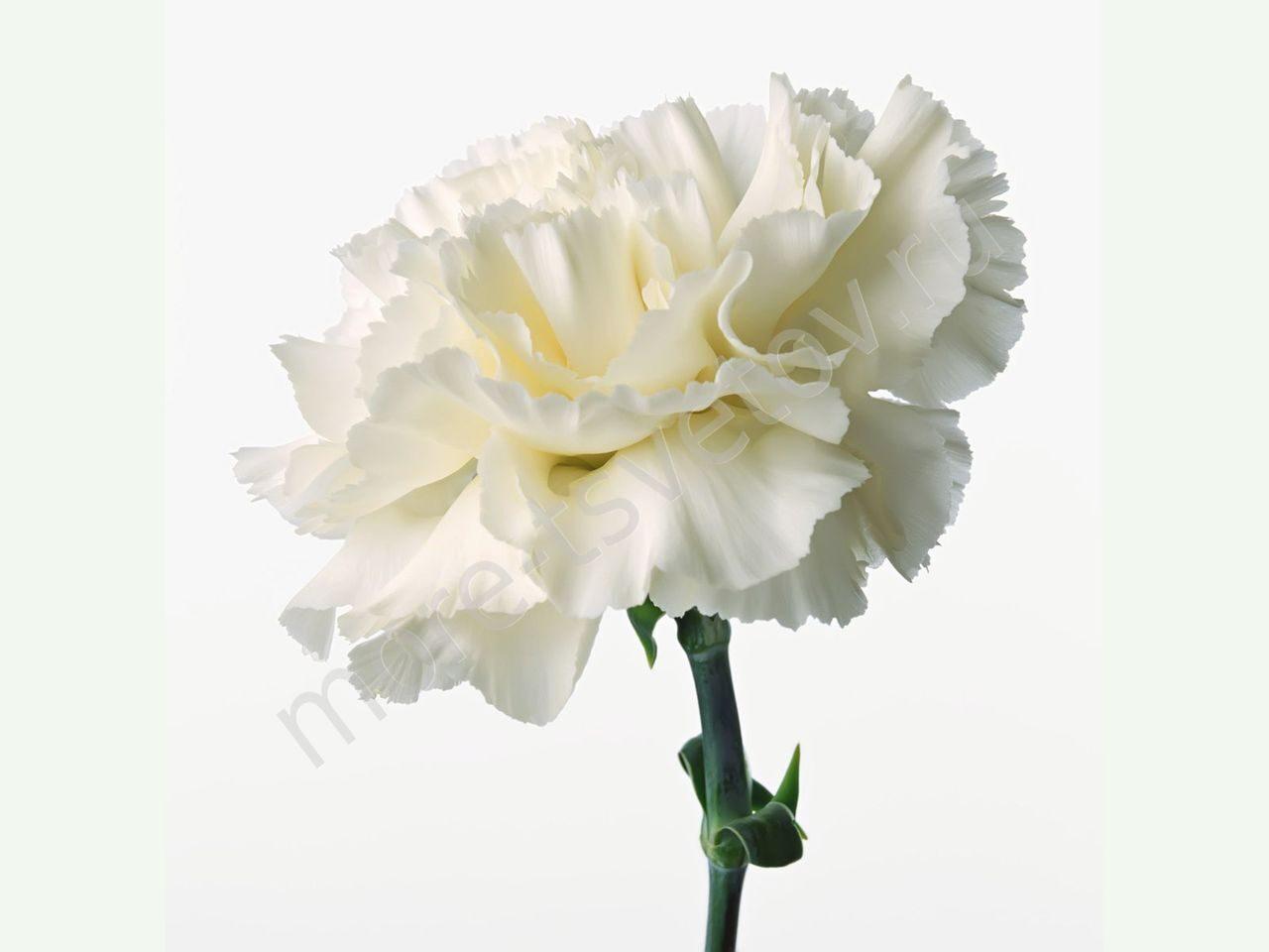 Заказать цветы с доставкой в москве дешево гвоздики